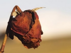 Rosa desbotada